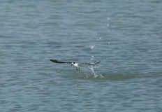 Little tern emerging from water Royalty Free Stock Photo