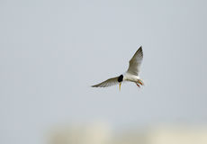 Little tern hovering Royalty Free Stock Photos