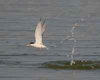 Little Tern Stock Images
