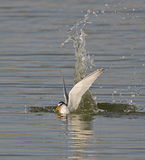 Little Tern Stock Photo