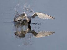 Little Tern. At Kalloni Salt pans,Lesvos stock photos