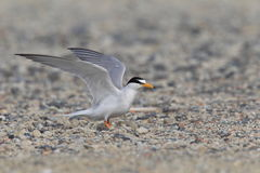 Little Tern nesting Royalty Free Stock Images