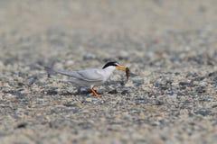 Little Tern nesting Stock Images