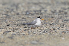Little Tern nesting Royalty Free Stock Photo