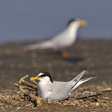Little Tern Royalty Free Stock Photos