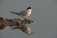 Little tern, Sterna albifrons Royalty Free Stock Images