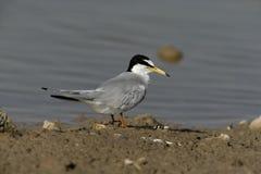 Little tern, Sterna albifrons. Single bird by water, Spain stock photo