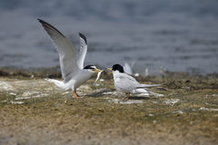 Little tern, Sterna albifrons Stock Images