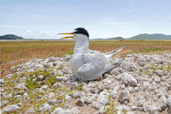 Little tern Sternula albifrons Baby Birds of Thailand Stock Image