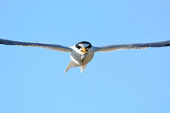 Little tern Sternula albifrons. Stock Image