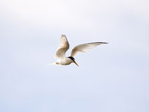 Little Tern (Sternula albifrons) Royalty Free Stock Photography