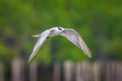 Little tern(Sternula albifrons) Royalty Free Stock Image