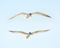 Little tern Sternula albifrons Stock Images