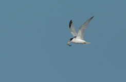 Little tern. Royalty Free Stock Image