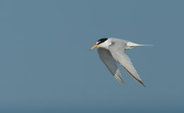 Little tern.