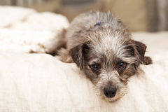 Little Terrier Dog Hanging Over Bed Stock Image