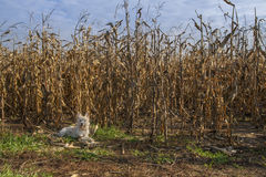 Little terrier dog lying beside a corn field. At autumn Stock Image