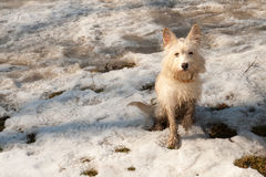 Little terrier dog on the snow. Little dirty terrier like dog on the snow Royalty Free Stock Photography