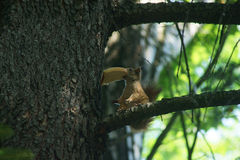Little thief. Thieving squirrel in the park of Dimitrovgrad Bulgaria Royalty Free Stock Photography