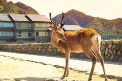 A little thing in miyajima Stock Photography