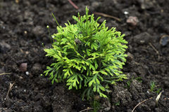Little thuja in the ground. Little thuja grows in the ground Stock Photos