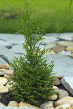 Little thuja in the ground among the rocks. Little thuja grows in the ground among the rocks Royalty Free Stock Image