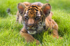 Little tiger Royalty Free Stock Photos