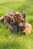 Little tiger Stock Photos