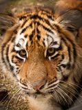 Little |Tiger Stock Photography