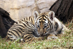 Little tiger. Cub in a african zoo Stock Photo