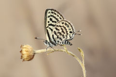 Little tiger blue Tarucus balkanicus butterfly Stock Images