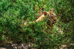 Little tiger is among the bright green foliage Stock Photos