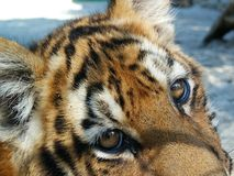 Little tiger in captivity. You can see sadness  in his eyes Royalty Free Stock Images