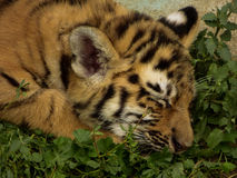 Little tiger. Is very tired Royalty Free Stock Photo