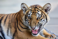 Little tiger Royalty Free Stock Images