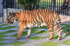 Little tiger Stock Image