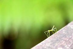 Little tiny baby stick insect Stock Images