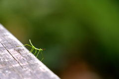 Little tiny baby stick insect. New Zealand coromandel Stock Photo