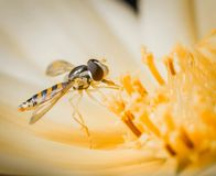 Little insect resting on a yellow orange flower. Macro image close up. stock photo
