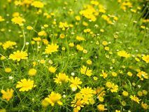 Little tiny flower. Field of yellow daisy flowers Royalty Free Stock Photo