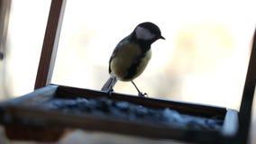 Little tit bird is feeding in feeder stock video