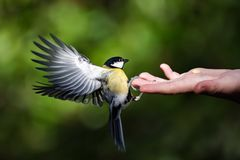 Tit can be fed by hand. Little tit can be fed by hand royalty free stock images