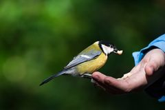 Tit can be fed by hand. Little tit can be fed by hand stock photo