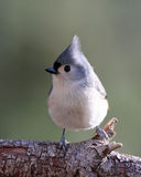 Little Titmouse. A Tufted Titmouse (Baeolophus bicolor) perching on a branch Royalty Free Stock Images
