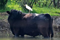 A little to the left PLEASE. This Cattle Egret is right at home on the back of a black angus cow. I believe it is the first time for this cow to have a stock photography