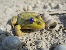 Little toad Royalty Free Stock Image