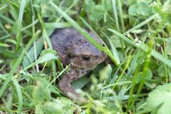 The little Toad in the Grass Royalty Free Stock Photography