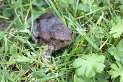 The little Toad in the Grass Stock Photography