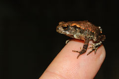 Little toad. Small frog on a finger Royalty Free Stock Photography