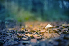 Little toadstool in sunbeam. In forest Stock Photos